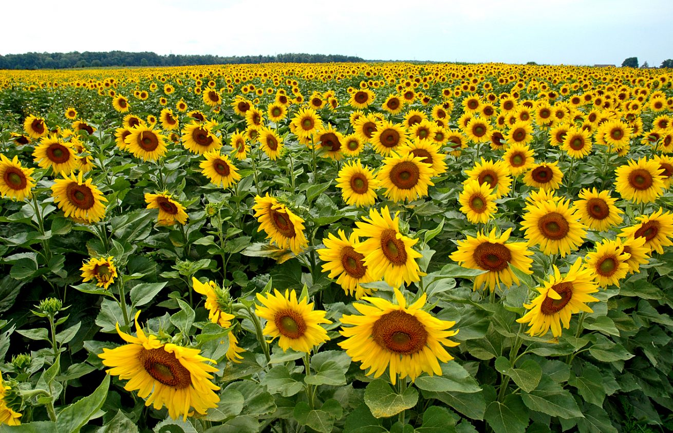 7Sunflowers900x1400Fin